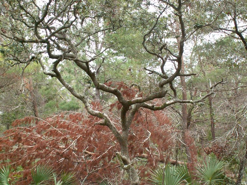 growing room live oak a tour through a coastal scrub habitat crackerboy 13617