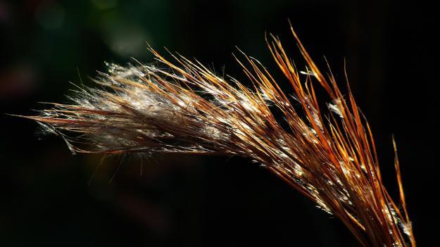 Andropogon virginicus