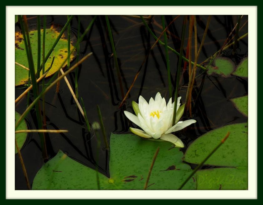 LotusFramed