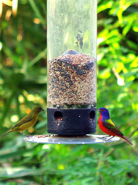 As I entered the wetlands, Mrs. and Mr. Painted Bunting greeted me from the feeder next to the walkway.