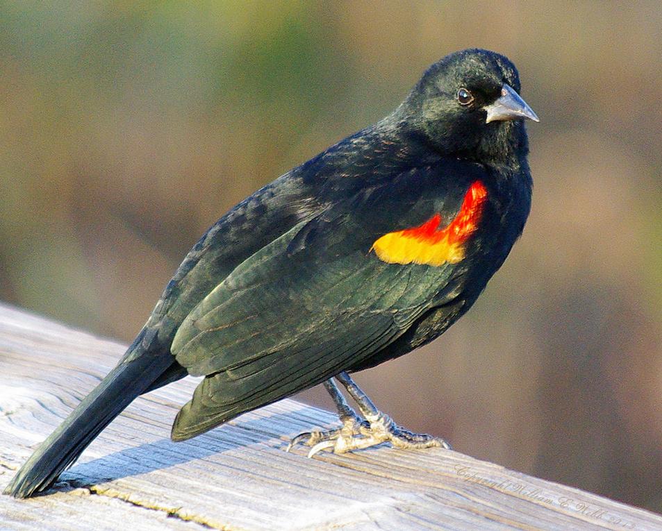 Redwing male1