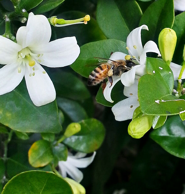 Bee on Ligustrum