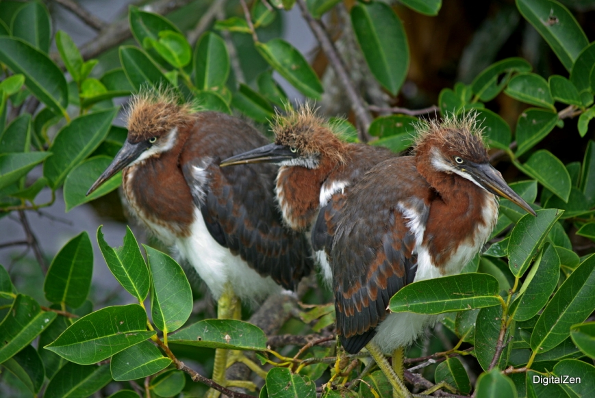 Young Tricolor Herons (Egretta tricolor)