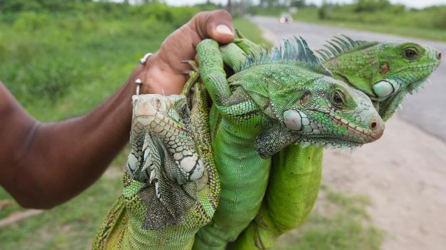 iguana tales